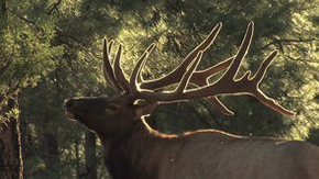 Michael Pellegatti Wild Visions's Videos on Vimeo - Big Bull Elk in Velvet