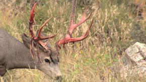 Michael Pellegatti Wild Visions's Videos on Vimeo - Mule Deer Bucks in Velvet